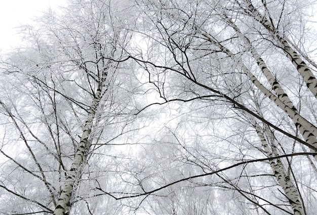 Abedules de invierno
