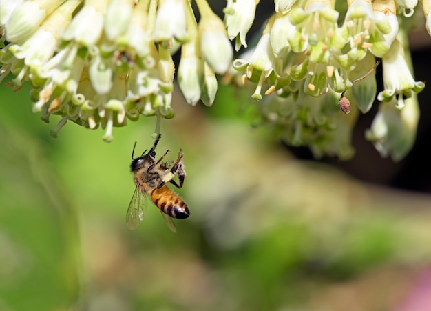 Abeja apis mellifera polinizando flor silvestre