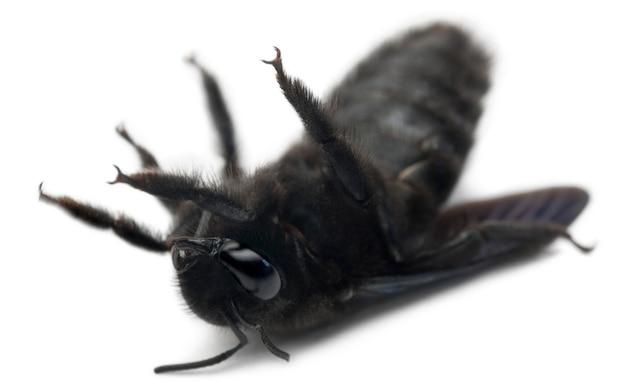 Abeja carpintera - xylocopa violacea, en su parte posterior