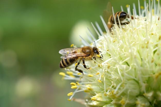 Abeja. dos abejas recogen polen en una flor de cebolla blanca