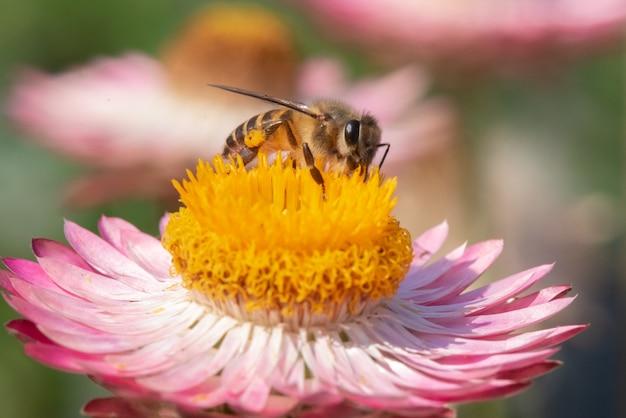 Abeja encontrar dulce en flor de paja
