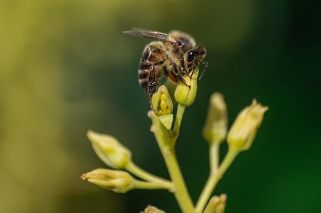 Abeja europea (apis mellifera), flor de aguacate polinizadora (persea americana)