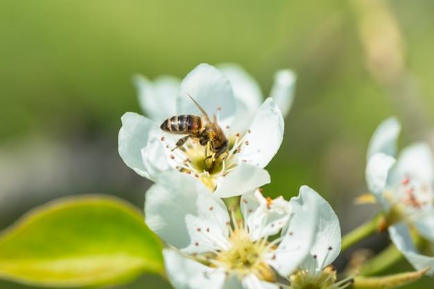 Abeja en una flor de las flores blancas. una miel de abeja recolectando polen