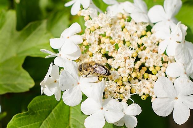 Abeja en una inflorescencia de flores blancas con enfoque selectivo. de cerca. insectos