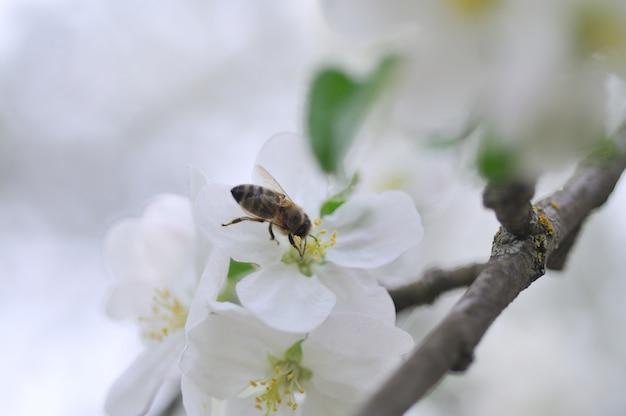 Abeja en manzano
