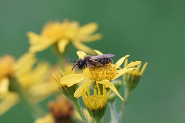 Abeja minera de patas amarillas macho (andrena flavipes) sentada sobre una flor amarilla