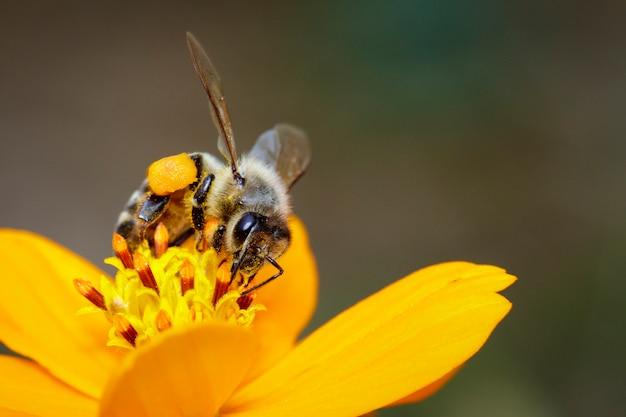 Abeja o abeja en flor amarilla recoge néctar. abeja dorada sobre polen de flores