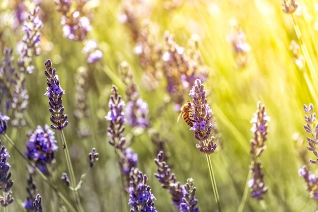 Abeja polinizando mientras busca néctar en flores púrpuras de lavanda