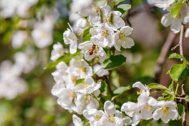 Abeja polinizando rama de manzano de primavera con flores blancas