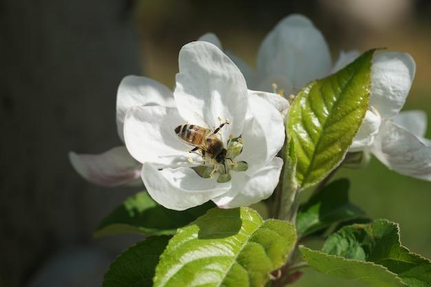 Abeja polinizando sobre una flor blanca con un fondo borroso