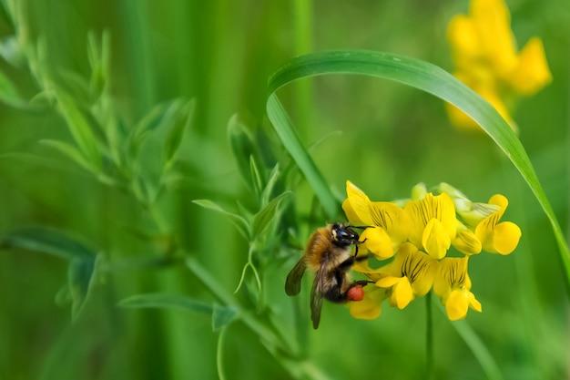 Una abeja que recoge el néctar de la flor. fondo verde natural