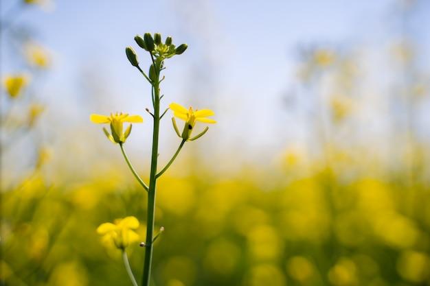 La abeja recoge miel en una flor de colza