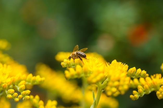 La abeja recolecta el néctar y el polen de las flores amarillas goldmoss