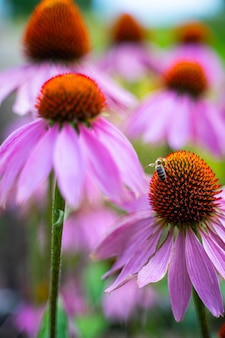 Abeja recolectando polen en coneflower púrpura.