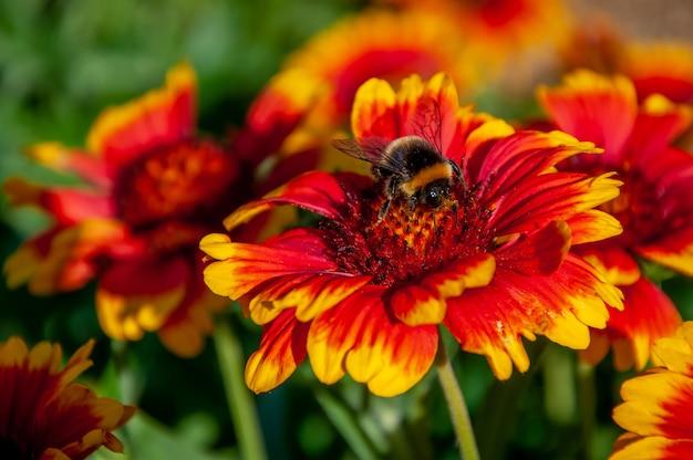 Una abeja sentada sobre la flor de gaillardia pulchella