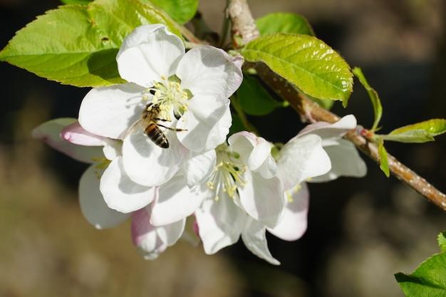Abeja sobre una flor blanca