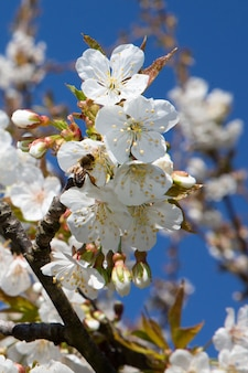 La abeja voladora o la avispa saquea una flor de cerezo en la primavera