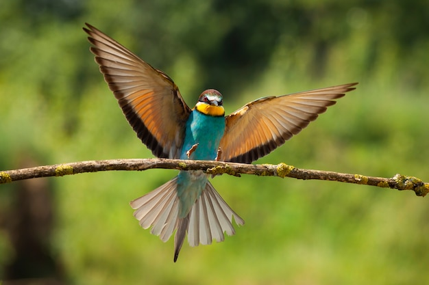 Abejaruco europeo exótico aterrizando en la ramita en la naturaleza verde del verano