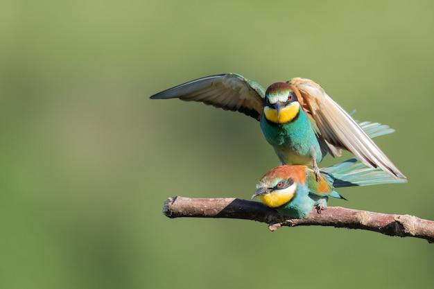 Abejaruco sentado encima de otro sobre la rama de un árbol