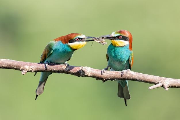 Abejarucos coloridos compartiendo comida en la rama de un árbol