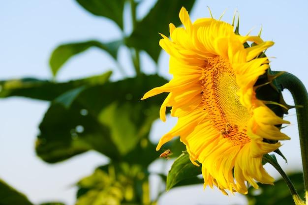 Las abejas encuentran el néctar del girasol
