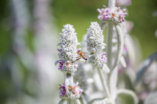 Las abejas recolectan néctar y polen de stachys byzantina, oreja de cordero, seto lanudo, stachys lanata, plantas blancas esponjosas olímpicas con flores de color púrpura en el macizo de flores en el jardín cerca del colmenar.