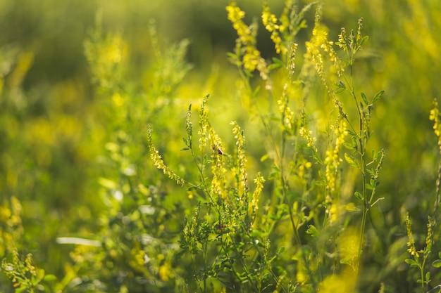 Las abejas recolectan polen de plantas silvestres melilotus, conocido como meliloto, trébol dulce y kumoniga, enfermedad del trébol dulce lat.