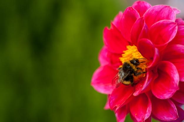 Abejorro en una flor - primer plano macro, poliniza una flor, recoge polen