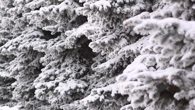 Abeto esponjoso en la nieve