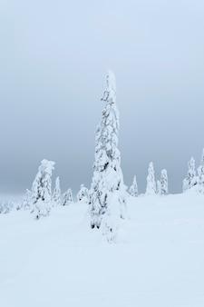 Abetos cubiertos de nieve en el parque nacional de riisitunturi, finlandia
