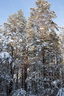 Abetos y pinos en la temporada de invierno.