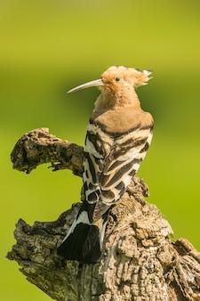 Abubilla encaramado en la rama de madera