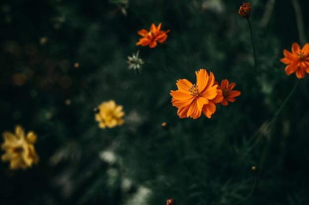 Abundantes flores amarillas naturales, flor y planta.