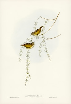 Acanthiza estriada (acanthiza lineata) ilustrada por elizabeth gould