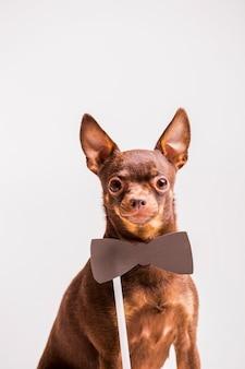 Accesorio de corbatín marrón cerca del cuello del perro de juguete ruso
