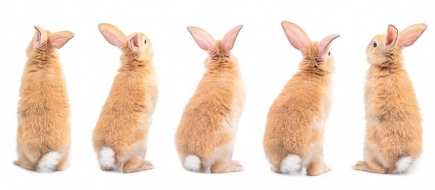 Acción cinco de la situación linda marrón del conejo del bebé, parte trasera aislada en blanco
