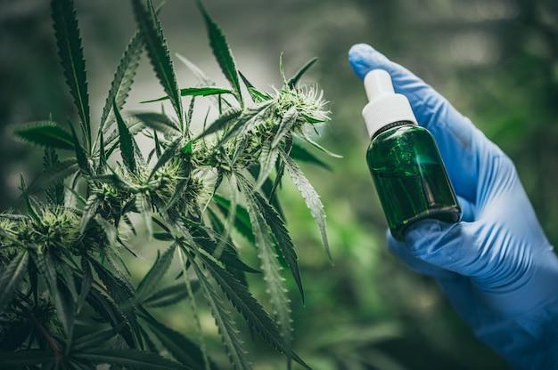 Aceite de cáñamo cbd, mano sosteniendo una botella de aceite de cannabis contra la planta de marihuana. tratamiento a base de hierbas, medicina alternativa