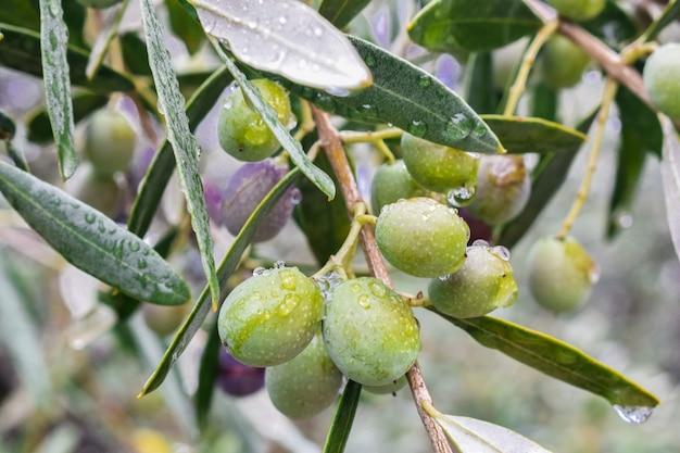 Aceitunas fruta colgando con gotas de lluvia