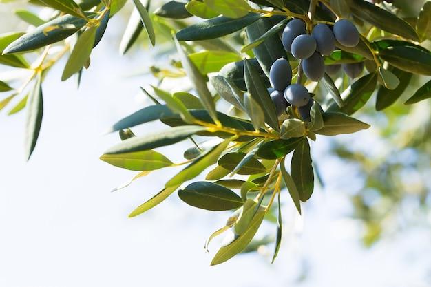 Aceitunas negras italianas en una rama, avetrana, apulia, italia