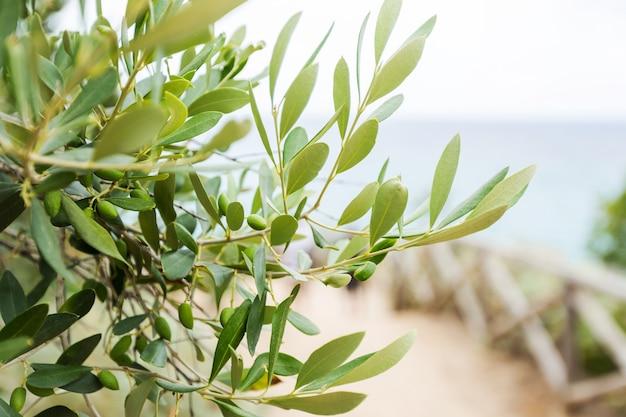 Aceitunas y olivo en día de verano. naturaleza de la temporada