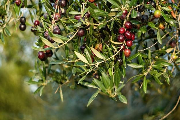 Aceitunas en una rama de árbol