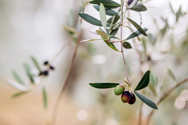 Aceitunas en rama. jardín de olivos, campo de olivos mediterráneos. aceitunas en diversas etapas de maduración. fondo de enfoque suave.