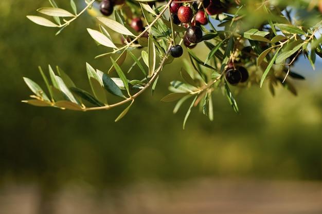 Aceitunas en una rama