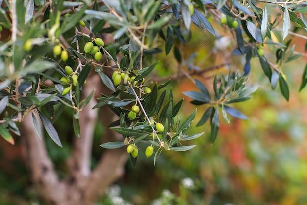 Aceitunas verdes en un primer plano de la rama