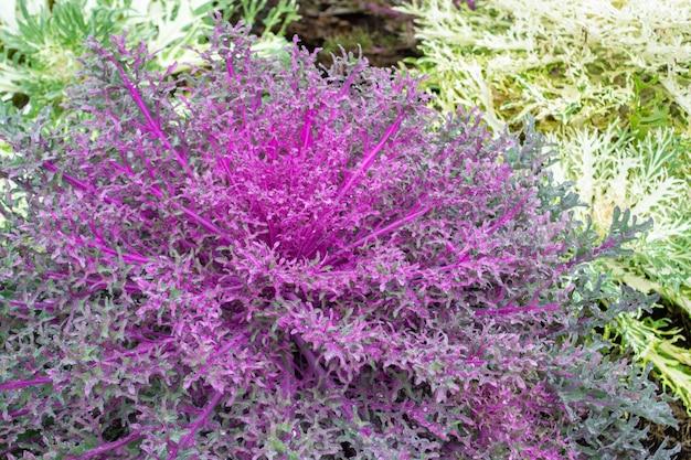 Acephala o brassica oleracea primer plano decorativo vista superior flor rosa púrpura repollo decorativo