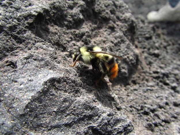Acercamiento de abejorro caminando sobre la lava volcánica