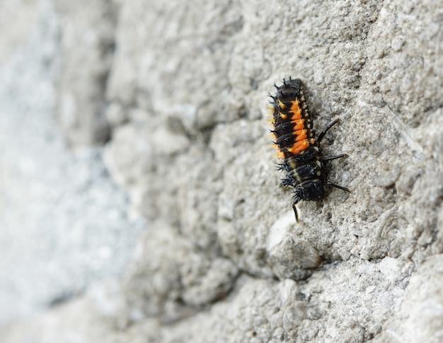 Acercamiento de la larva de la mariquita sentada sobre una roca
