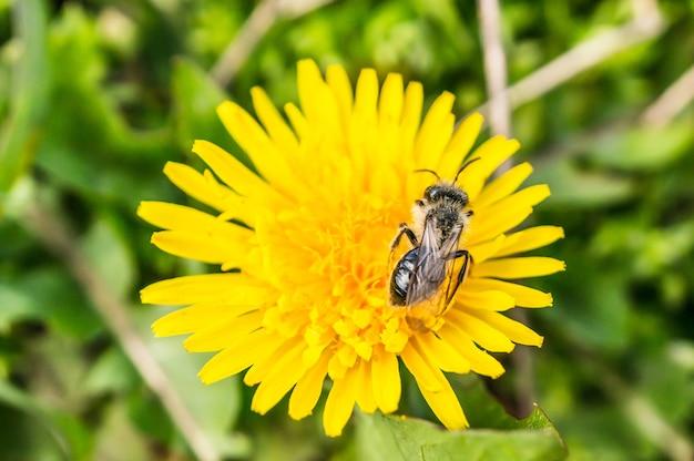 Acercamiento de una mosca sobre una hermosa flor de diente de león amarillo sobre un fondo borroso