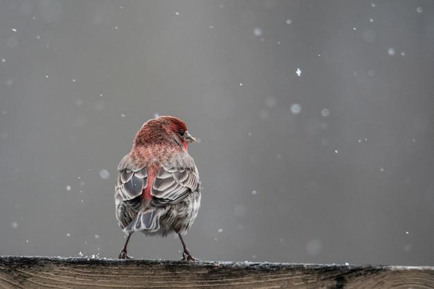 Acercamiento de un pájaro rojo y marrón descansando sobre una superficie de madera durante la nieve