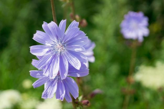 Achicoria útil planta